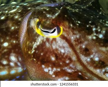 Closeup with Reaper cuttlefish during a leisure dive in Tunku Abdul Rahman Park, Kota Kinabalu, Sabah. Malaysia, Borneo.