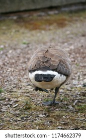 Close-up of the rear end of a goose that is walking away.