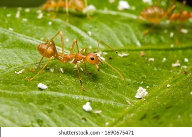 Close-up of red ant on hibiscus leaves