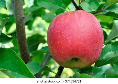 close-up of red apple on apple tree branch