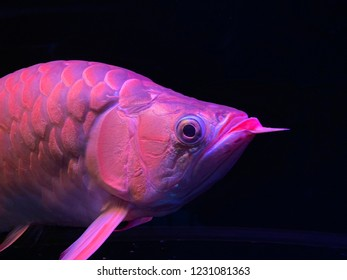 Close-up of a red arowana swimming in a tank, selective focus