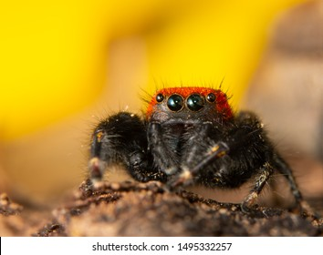 Closeup of a red and black Apache jumping spider in front of yellow Sunflower