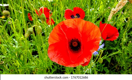 Closeup of red blossom of Papaver rhoeas (common names include common poppy, corn poppy, corn rose, field poppy or red poppy
