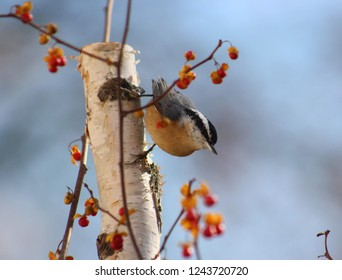 Closeup of a red breasted nuthatch clinging to a birch tree branch, with red and orange bittersweet vines surrounding it.