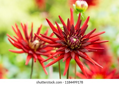 Close-up of a Red Cactus Dahlia (Asteraceae) Flower in Summer.