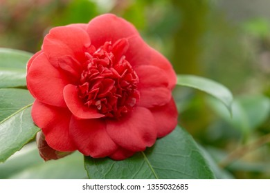 Close-up of a Red Camellia japonica (April Trys) in Spring. View of a blooming April Trys. Red camellia japonica Flower. Red Japanese Camellia.