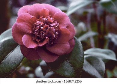 Close-up of a Red Camellia japonica (April Trys) in a creative fresh Image Look.