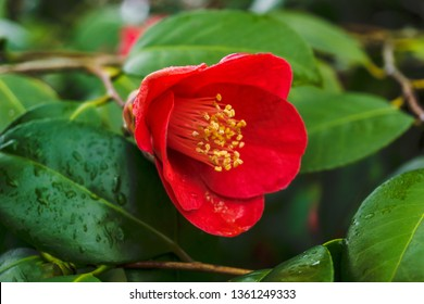 Close-up of a red Camellia sasanqua (Camellia Japonica) with Water Drops. View of a flowering red Camellia sasanqua.