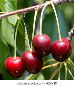 Close-up of red cherries on a tree branch