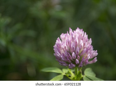 Closeup red clover. In folk medicine-against cancer, pneumonia, oedema, dermatitis, psoriasis, hypertension. In magic, it attracts money and love and protects against evil spirits.