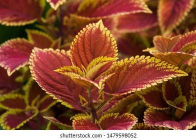 closeup of red coleus leaves in a public garden