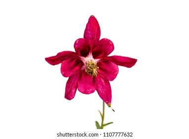 Closeup of a red columbine blossom isolated on a white background
