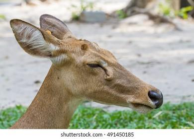 Close-up of red deer