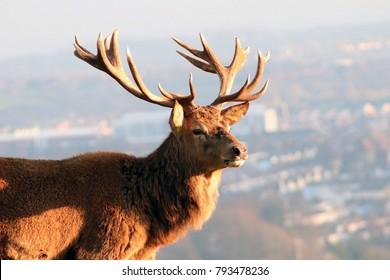 Closeup of Red Deer Overlooking City Skyline, Bristol, UK