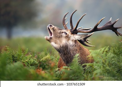 Close-up of a Red deer roaring during rut in autumn, UK
