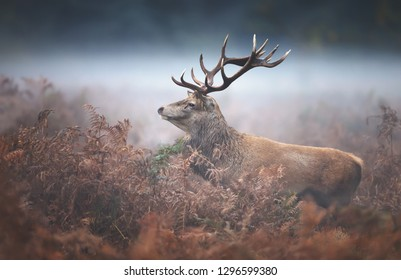 Close-up of a red deer stag during rutting season on a misty autumn morning, UK