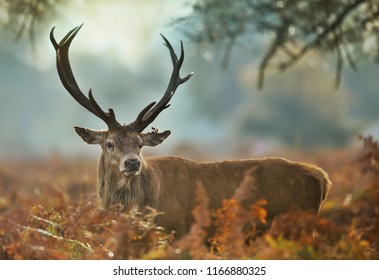 Close-up of a red deer stag with an injured ear during rutting season, UK