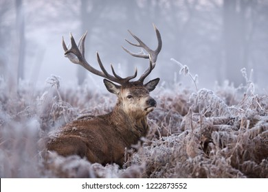 Close-up of a red deer stag in winter