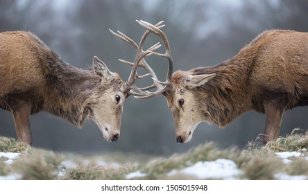 Close-up of Red deer stags fighting in winter, UK