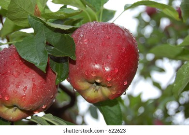 Closeup of red delicious apples