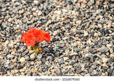 Closeup of red flower growing up from the gravel. The concept of life and motivation. Struggle for life. Desire to live