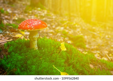 closeup red flyagaric mushroomgrowth through a moss in a sunlight