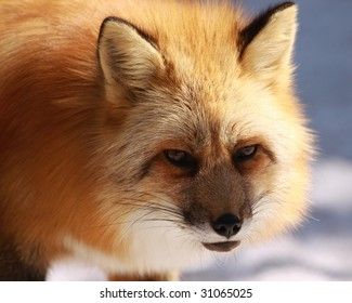 A close-up of a red fox (vulpes vulpes)