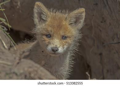 closeup red fox walking in green bushes in the meadow