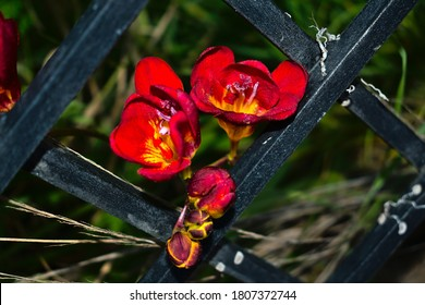 Close-up of red Fressia flowers coming out through the rhombus-shaped hollow of a black iron fence. Outdoor light with flash padding