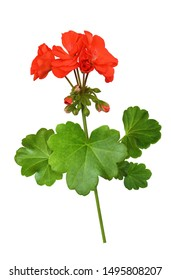 Closeup of red geranium flowers and leaves isolated on white