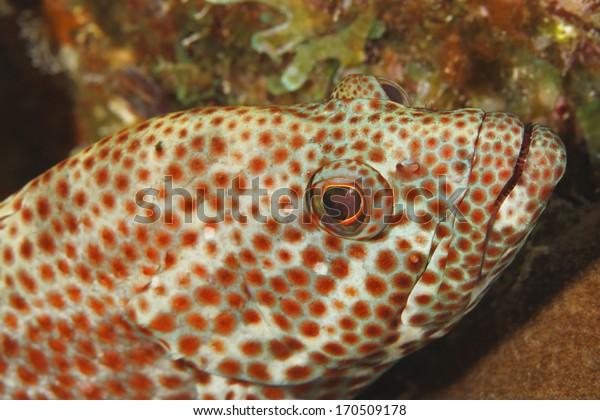 Closeup of a Red Hind (Epinephelus guttatus) - Bonaire