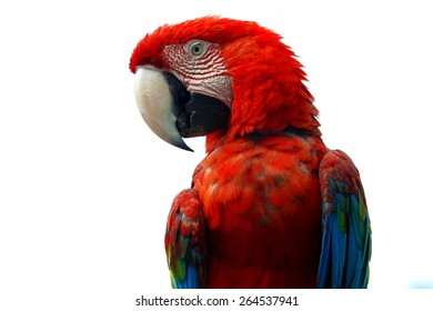 close-up of a red Macaw