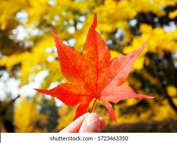 closeup red maple leaf in hand fingers holding with yellow tree leaves bokeh background