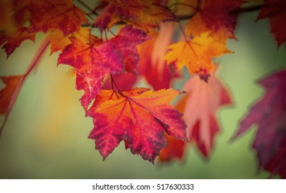 Close-up of Red Maple Leaves in Autumn