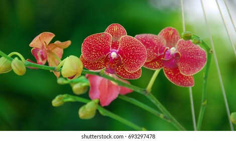 a closeup of Red Moth Orchid Phalaenopsis flower