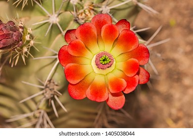 Close-up of a red orange flower blossom in boom on an organ pipe cactus, stenocereus thurberi
