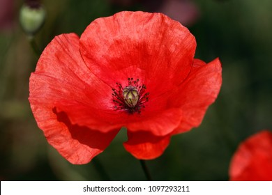 Close-up of of red papaver rhoeas (red poppy) flower on the summer field. Macro photography of nature.