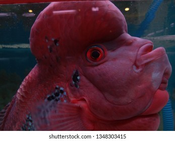 Close-up Red pearl cichlid flowerhorn in aquarium. Louhan fish swimming in aquarium.
