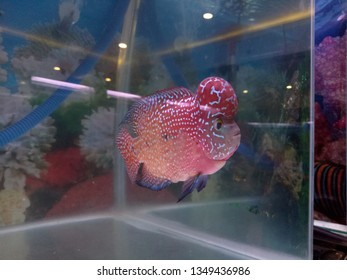 Close-up Red pearl cichlid flowerhorn in aquarium. Louhan fish swimming in aquarium. unique art of louhan body.