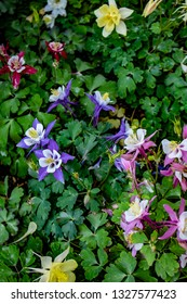 Closeup of Red, Pink, Purple, and Yellow Columbine Flowers Blooming in a Cottage Garden outside of Amsterdam, Netherlands