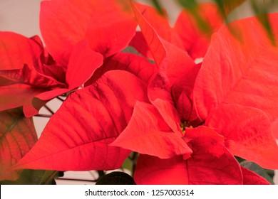 Closeup of red poinsettia flowers Euphorbia pulcherrima . Christmas flower soft focus