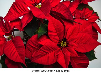 A close-up of a red poinsettias against a whiste background