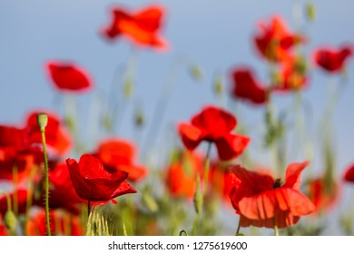 closeup red poppy field