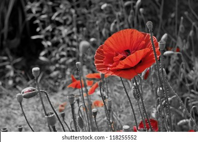 A closeup of a red poppy on a black and white background