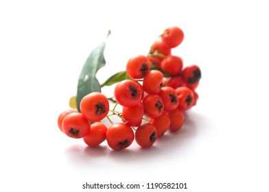 closeup of red pyracantha berries on white background