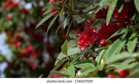 closeup of Red rhododendron flowers,green nature background,Red rhododendron flower,selective focus