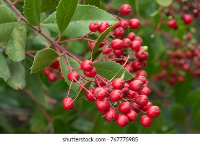 Closeup red ripe bunch of fruits on Heteromeles arbutifolia toyon shrub in natural setting