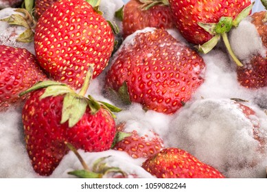 Closeup red ripe strawberry with gray mold or fungus, unhealthy fruit