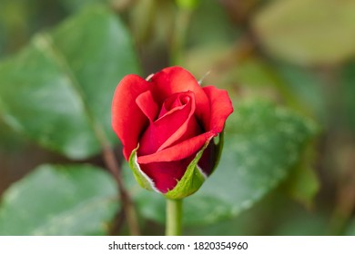 Close-up of a red rose with beautiful flowers and blurred background