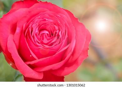 Close-up of red rose in garden under blurry filter for softness style and lens flare effect.